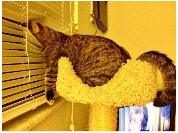 Gato cotilla